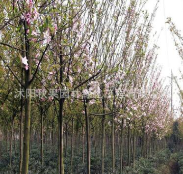西府海棠海棠大树苗庭院绿化工程垂丝海棠苗 海棠地栽占地海棠苗