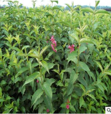 直销红王子锦带工程绿化园林绿化苗木观赏庭院种植色块苗