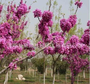基地批发紫荆苗紫荆树苗紫荆小苗丛生紫荆庭院园林种植