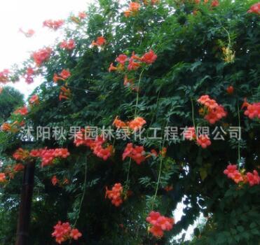 基地供应凌霄花苗大花爬墙植庭院绿化爬藤花卉爬藤量大从优