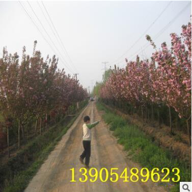 本苗圃专业樱花基地热销2cm樱花树
