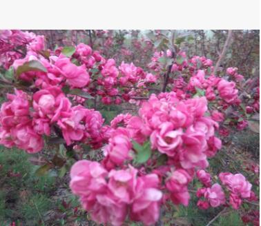 优质海棠苗 北美海棠树苗 2-10年海棠苗