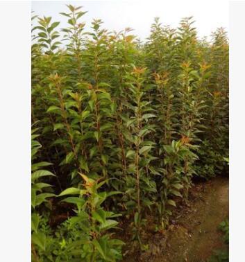 基地出售优质红叶樱花树苗 2- 5公分樱花大树带土球成活高