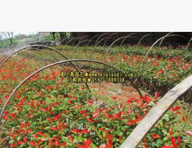 供应红叶石楠扦插苗