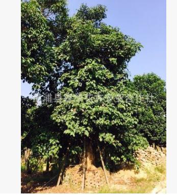 漳州基地直销常青重阳木不落叶秋枫批发重阳木地苗和袋苗量大价优