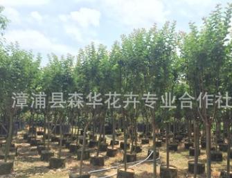 福建漳州大量批发小叶紫薇袋苗,地径3-6公分,树形优美低价批发