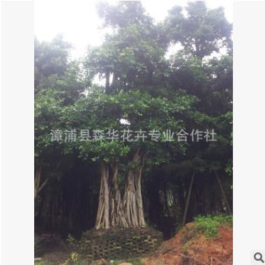 漳州优质小叶榕价格 基地直销小叶榕胸径10-80公分各种规格价廉