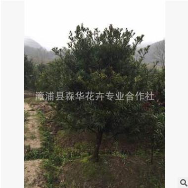 四季常青罗汉松批发价格全冠生树木漳州优质绿化植物5公分-15公分