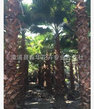 福建低价批发精品华棕老人葵价格精品华棕报价自产自销杆高4-5米