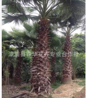 福建漳州老人葵 华棕:杆高1-9米 地苗 移植苗场地低价批发出售