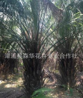 福建布迪椰子报价布迪椰子基地直销(杆高0.2M-2M)头颈20CM-50CM