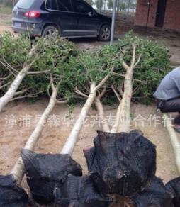 低价批发耐寒耐旱红皮榕袋苗和地苗杆直冠幅大规格10-15公分量大
