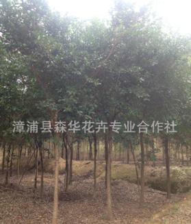 森华花卉专业合低价供应红皮榕8 10 12 15公分/红榕移栽苗自产自