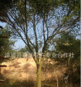 绿化工程苗红榕 福建红皮榕胸径20公分 漳州基地低价批发销售