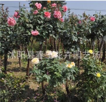 多季蔷薇爬藤花苗 园林绿化玫瑰月季香办公盆栽直销
