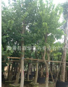 场地直销优质火焰木树澳洲火焰 规格5-20公分地苗和袋苗树形佳