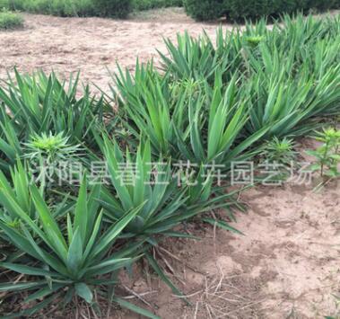 绿化苗 剑麻 丝兰 庭院植物 四季常青 耐寒耐旱 易成活可盆栽