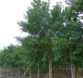 供应红皮榕 红榕基地自产直销胸径2-15 公分 红皮榕袋苗和地苗
