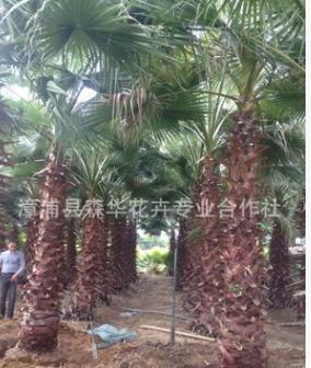 精品壮杆老人葵(华棕)批发,自产自销,漳浦华盛顿棕榈价格实惠