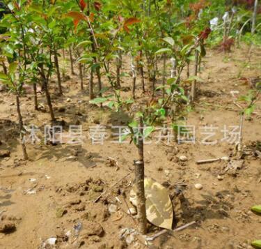 基地大量特供 绿梅苗 各种工程用苗 绿化植物低价大量批发