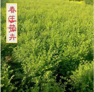 龙柏树苗批发 龙柏苗 小龙柏 规格齐全四季常青绿化植物工程绿化