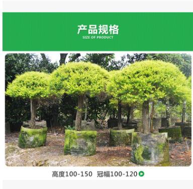 自家苗圃供应 千层金 粗杆黄金宝树球 庭院植物 园林绿化苗木