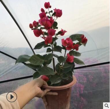 自家苗圃供应 九重葛 三角梅 绿化苗 花卉绿植盆栽