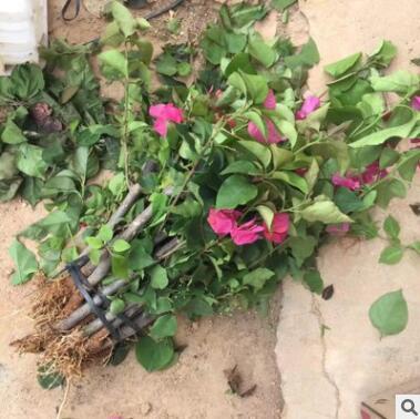 自家圃供应 同安红三角梅 绿化小苗 花卉绿植盆栽