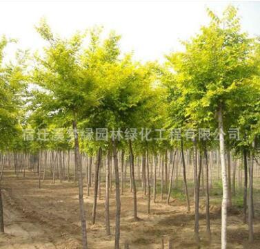 金叶榆树苗批发工程绿化苗木嫁接黄金榆树苗 街道风景树