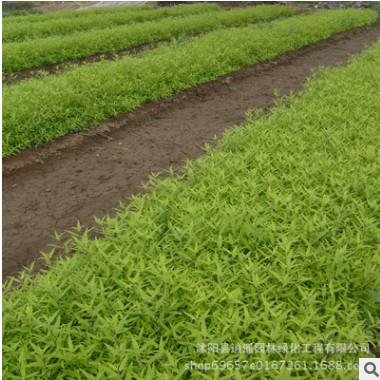 优质绿化灌木金叶莸苗批发工程绿化苗色块绿化环境水生 地被植物