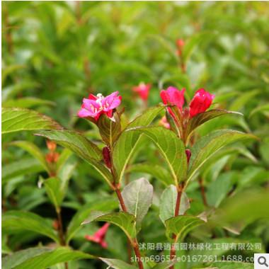 绿化苗木红王子锦带苗批发 工程园林绿化苗庭院植物红王子锦带苗