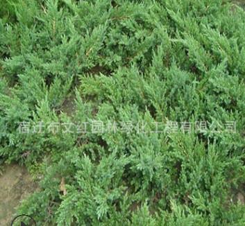 铺地柏苗绿化苗木色块绿篱四季常青行道点缀量大从优铺地柏苗直销