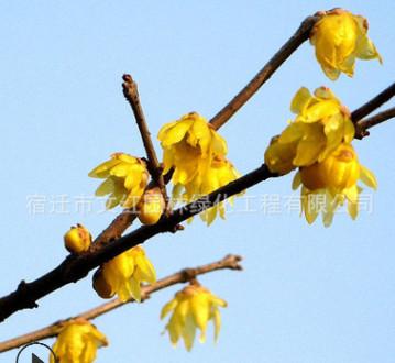 腊梅树苗绿化花木庭院观赏气味芳香室内盆栽量大从优腊梅树苗直销