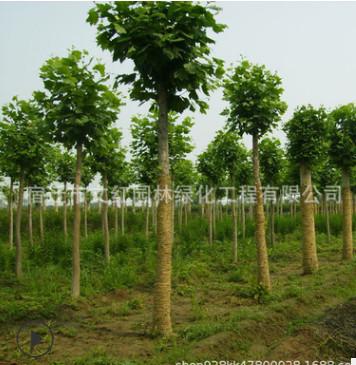 青桐树苗批发园林绿化梧桐造型树庭院观叶植物行道绿篱梧桐树