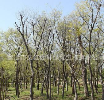 朴树树苗批发 园林精品盆景造型朴树工程绿化苗木规格齐全