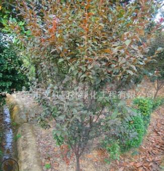 紫叶李树苗绿化苗木色块绿篱庭院观赏行道点缀量大从优紫叶李