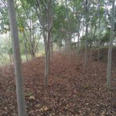 供应优质栾树,干径树干挺直,不偏冠,分支点合适
