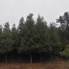 长期供应优质金丝楠木干径