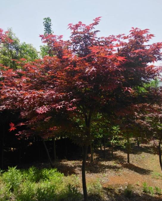 长期供应红枫