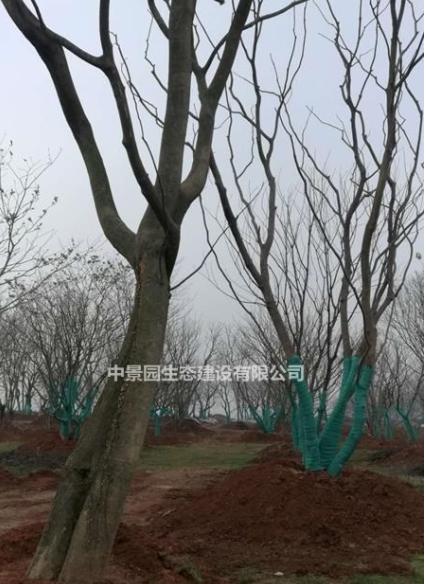 大量供应南昌本地朴树