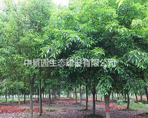 大量供应南昌红翅槭
