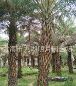 【园林绿化】中东海枣批发 银海枣报价 杆高1M-6M头颈40cm-60cm