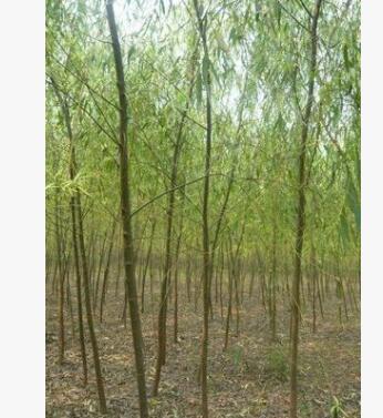 优质金丝柳树苗河南省低价大量出售/基地直销