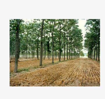 低价大量供应大规格兰考泡桐树(绿化工程用)