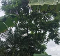 蓝花楹 蓝雾树 10~30cm 福建蓝花楹 蓝花楹袋苗 各种规格批发
