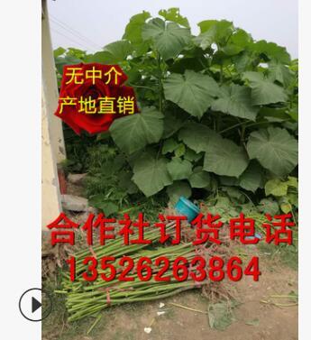 4-5公分泡桐树苗 大量出售(合作社基地直销/质量保证/价格低)
