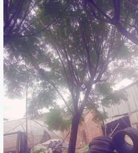 蓝花楹全冠 蓝雾树10~30cm 福建蓝花楹 蓝花楹袋苗 各种规格批发