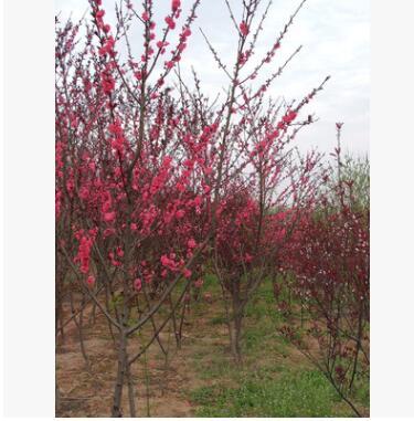 优质红叶碧桃树苗河南省低价大量出售/基地直销/质量保证