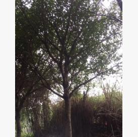红皮榕米径5~60cm 全冠红皮榕 红皮榕袋苗 耐寒榕树 基地直销