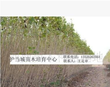 直径3公分中林46杨树苗河南省大量供应/ 基地直销/价格优惠